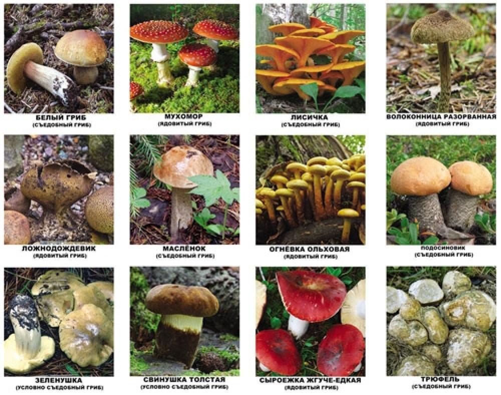 этой съедобные грибы урала фото с названиями и описанием ней отображены